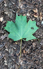 Leaf-Sugar-Maple