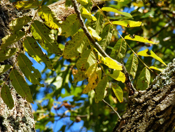 Walnut leaves in fall